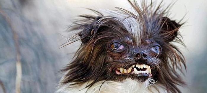 Se busca al perro más feo del mundo